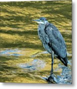 Great Blue Heron On A Golden River Vertical Metal Print
