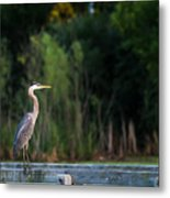 Great Blue Heron On A Handrail Metal Print