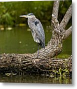 Great Blue Heron On Log Metal Print
