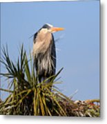 Great Blue Heron On Nest In A Palm Tree Metal Print