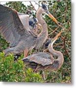 Great Blue Heron Pair  Metal Print
