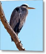 Great Blue Heron Perched On Tree Branch Metal Print
