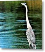 Great Blue Heron Standing Tall Metal Print