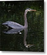 Great Blue Heron Swimming Metal Print