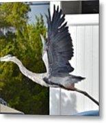 Great Blue Heron Taking Flight Metal Print