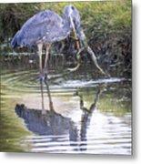 Great Blue Heron Vs Huge Frog Metal Print