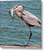 Great Blue Heron Walking With Fish #2 Metal Print