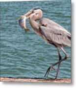 Great Blue Heron Walking With Fish #3 Metal Print