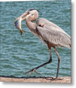 Great Blue Heron Walking With Fish #4 Metal Print