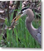 Great Blue Heron With His Catch Metal Print