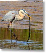 Great Blue Heron Wrestles A Snake Metal Print