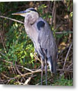 Great Blue Just Chillin' Metal Print