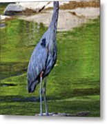 Great Blue Wading The Tuck Metal Print