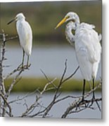 Great Egret And Snowy Egret Perched Metal Print