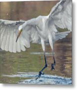 Great Egret Chase 072316-9861-2cr Metal Print