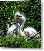Great Egret Chicks 1 Metal Print