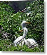 Great Egret Chicks 2 Metal Print