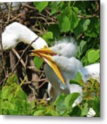 Great Egret Chicks And Mom Metal Print