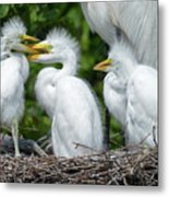 Great Egret Chicks Metal Print