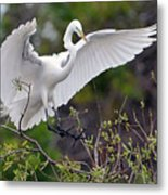 Great Egret Coming In For Landing Metal Print