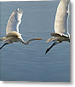 Great Egret Flight Sequence Metal Print