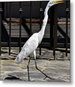 Great Egret In The Neighborhood Strutting 1 Metal Print