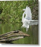 Great Egret Landing Metal Print