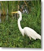 Great Egret Walking Metal Print