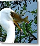 Great Egret With Catch 2 Metal Print
