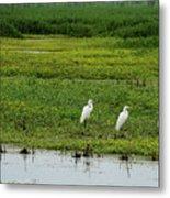 Great Egrets Metal Print