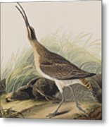Great Esquimaux Curlew Metal Print