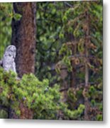 Great Gray Owl Perched Metal Print