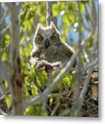 Great Horned Owl Chick Metal Print