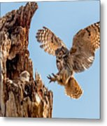 Great Horned Owl Returning To Her Nest Metal Print