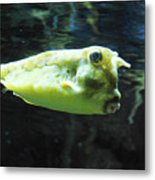 Great Longhorn Cowfish Swimming Along Underwater Metal Print