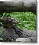 Great Look At A Komodo Monitor Lizard With Long Claws Metal Print