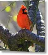 Great  Perch Male Northern Cardinal Metal Print