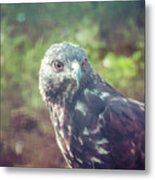 Great Plains Red-tailed Hawk Metal Print
