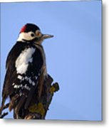 Great Spotted Woodpecker Against Blue Sky Metal Print