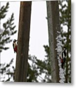Great Spotted Woodpeckers Metal Print
