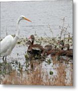 Great White Egret And Ducks Metal Print