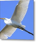 Great White Egret In Flight . 40d6850 Metal Print