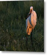 Great White Egret With Armored Catfish Metal Print