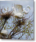 Great Egrets, Nest Building Metal Print
