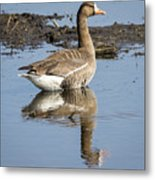 Great White Fronted Goose Metal Print
