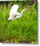 Great White Heron Takeoff Metal Print