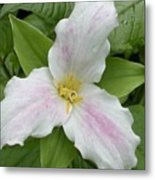 Great White Trillium Metal Print