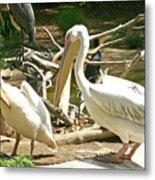 Great White Pelican Metal Print