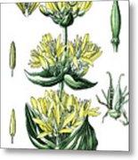 great yellow gentian, Gentiana lutea Metal Print
