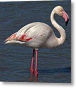 Greater Flamingo Metal Print